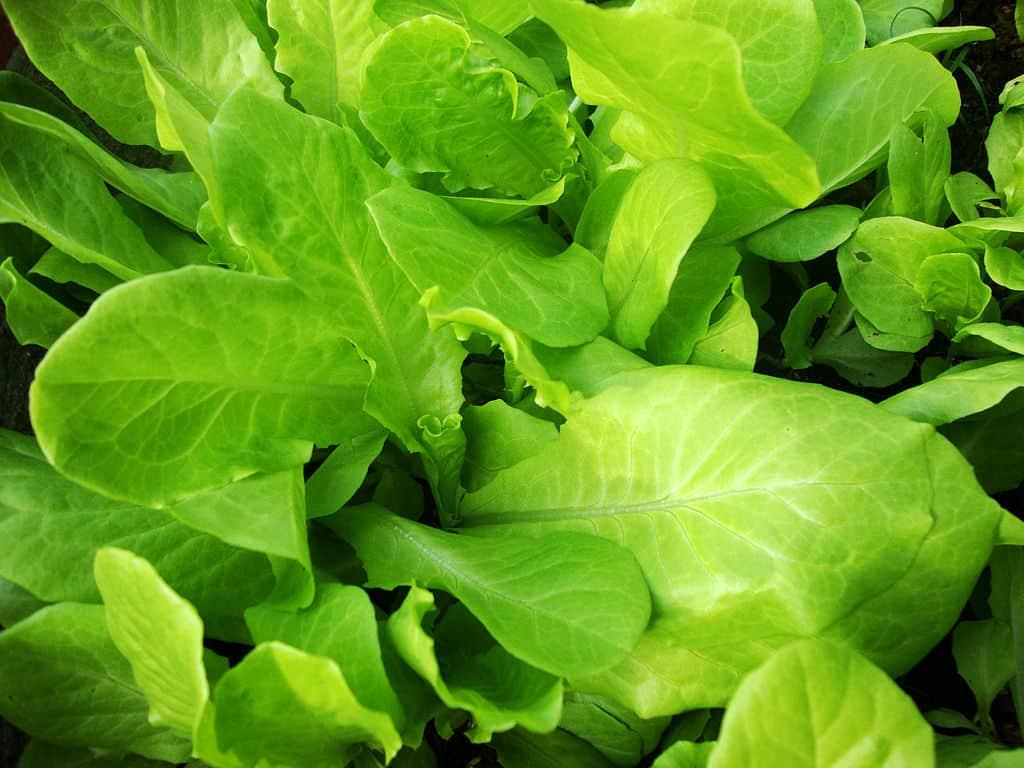 Xà Lách vietnamese lettuce