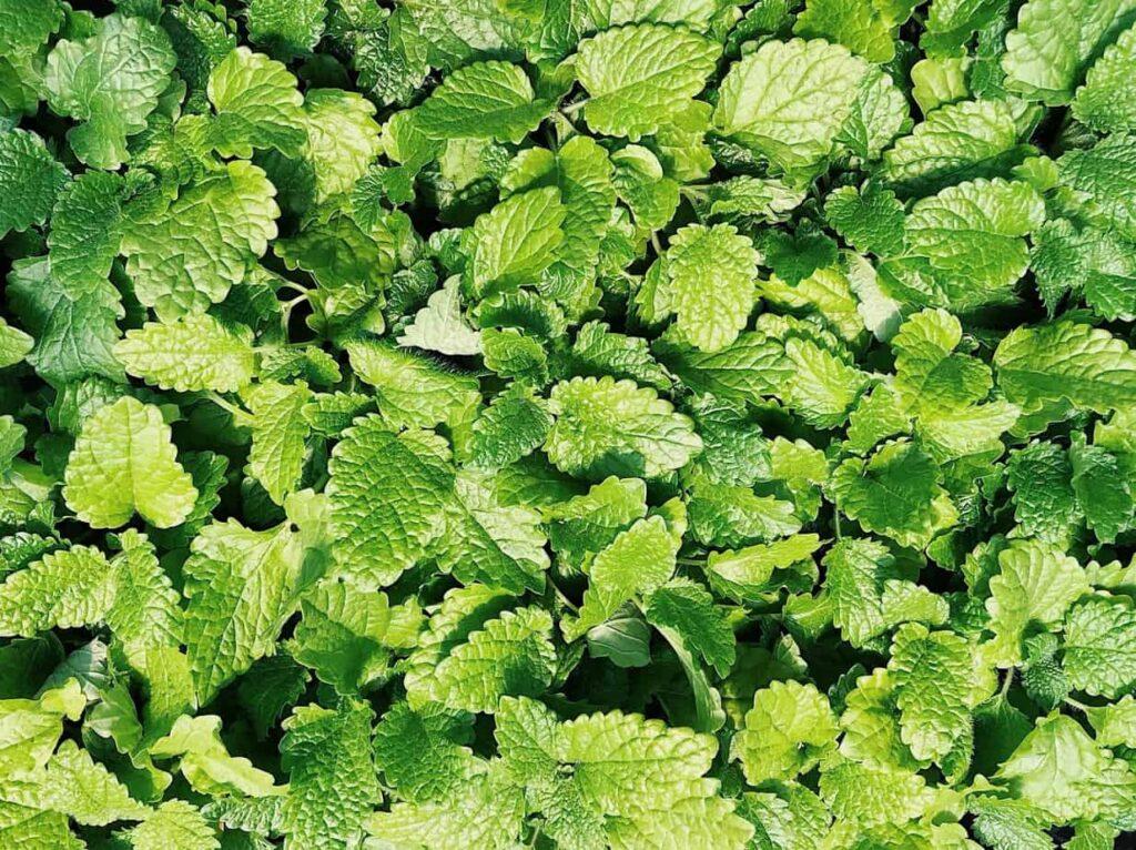 spearmint vietnamese herbs