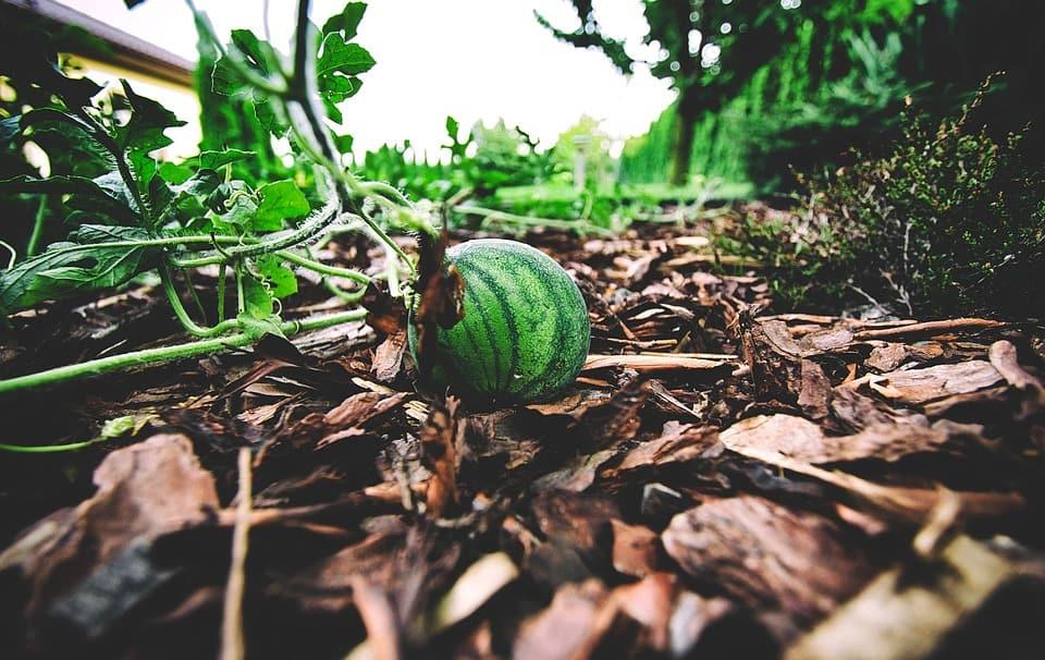 Aboujahl Watermelon