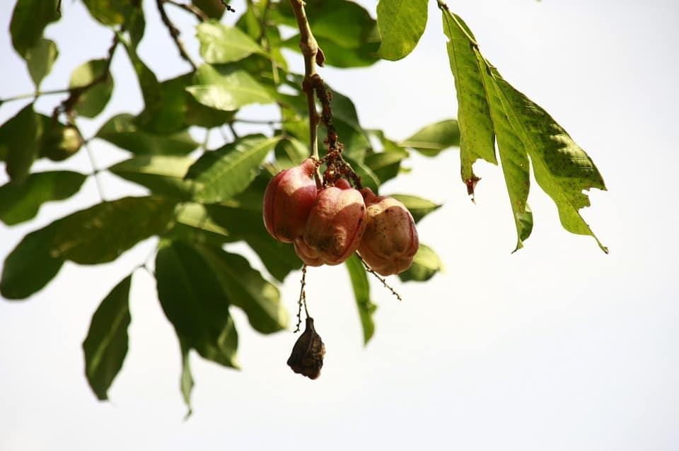 ackee exotic fruits