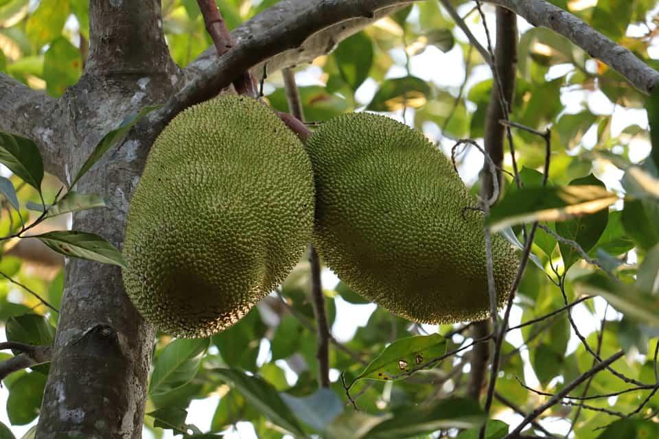 jackfruit weird exotic fruits