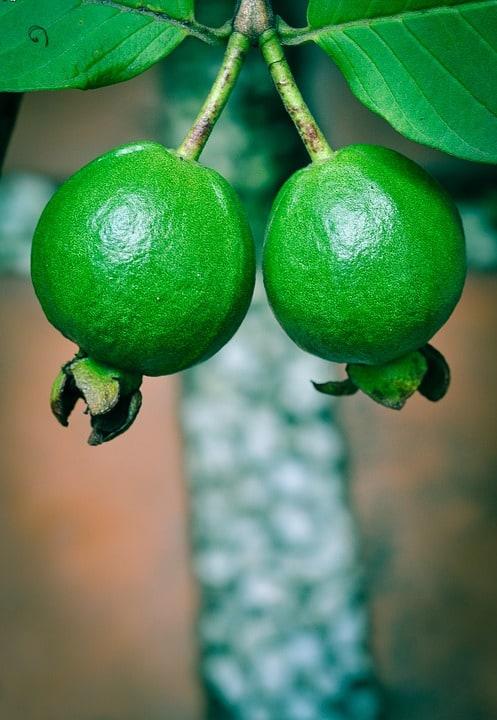 santol fruit