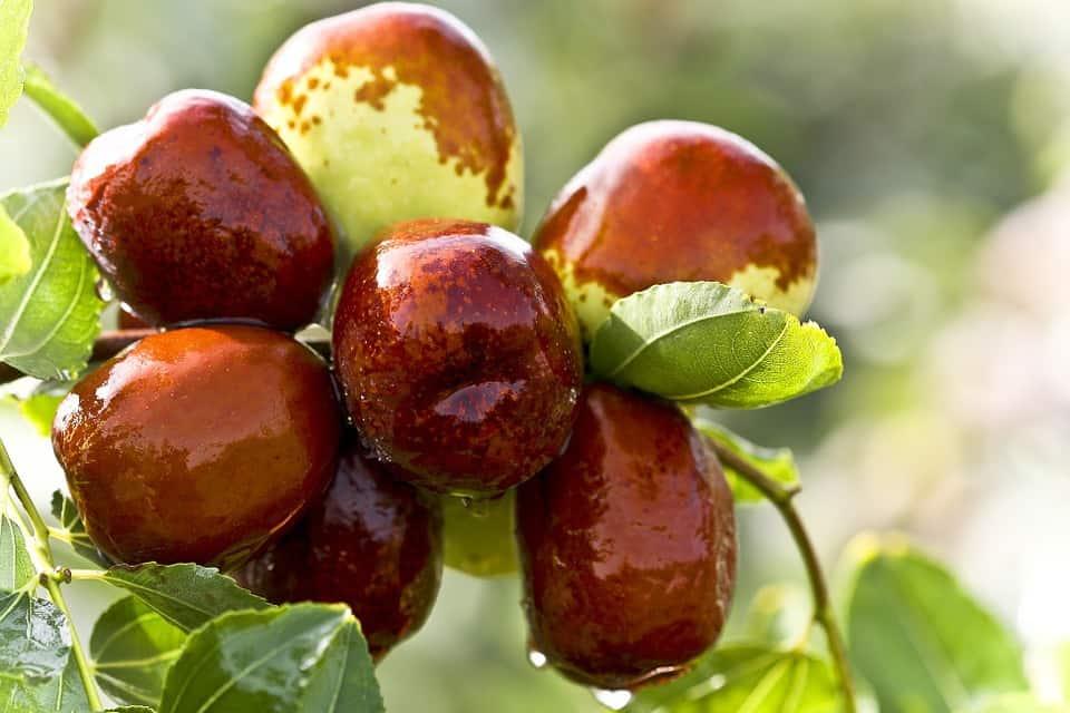 jujub weird fruits