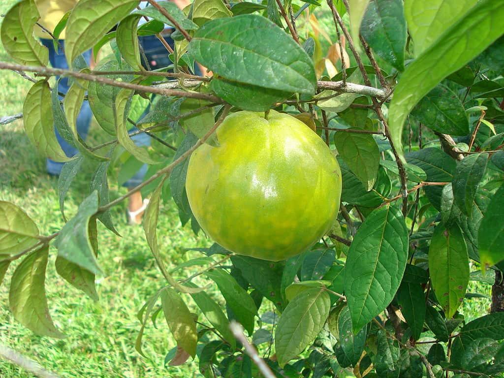 araza fruit Eugenia Stipitata