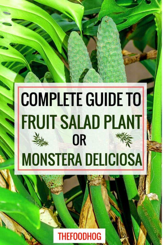 fruit salad plant monstera deliciosa