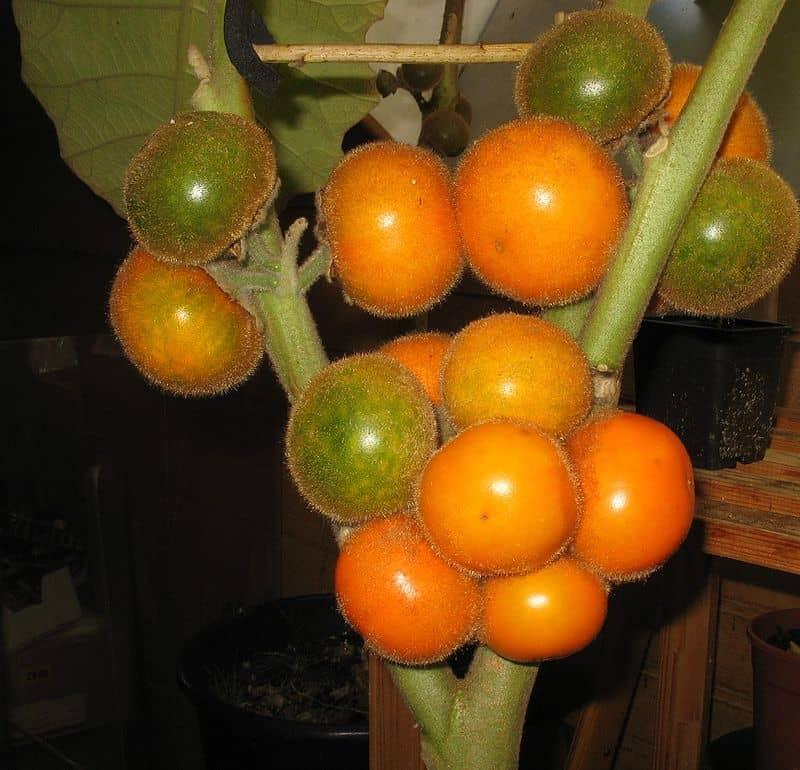 lulo tree