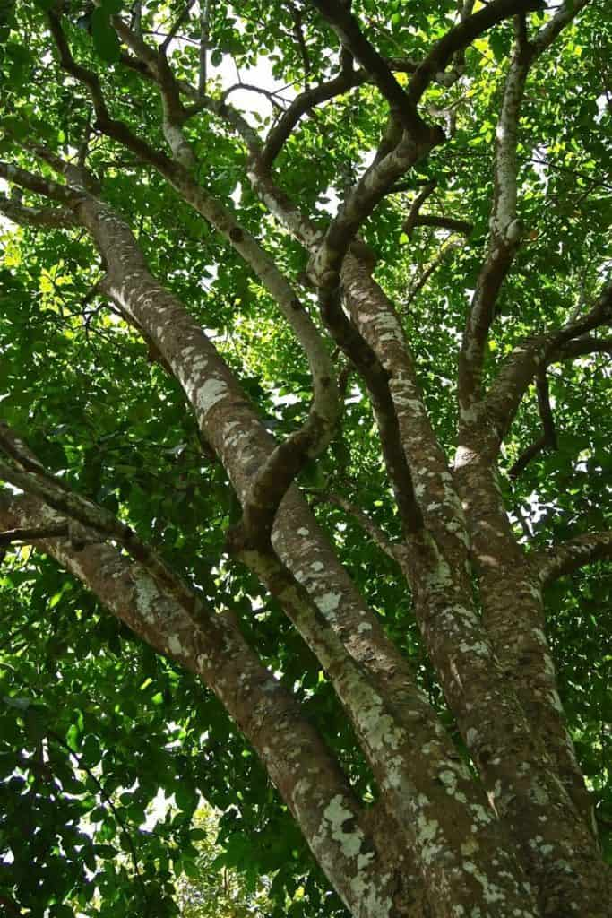 santol tree