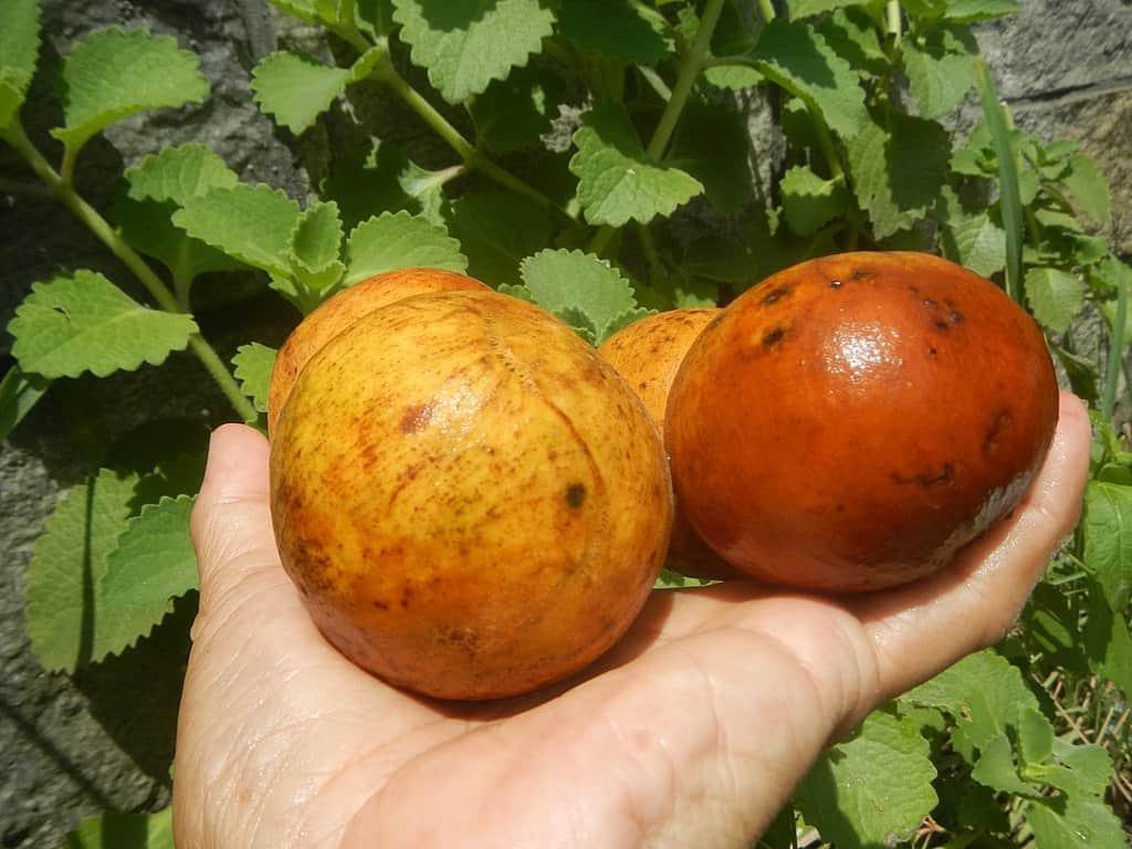 santol varieties