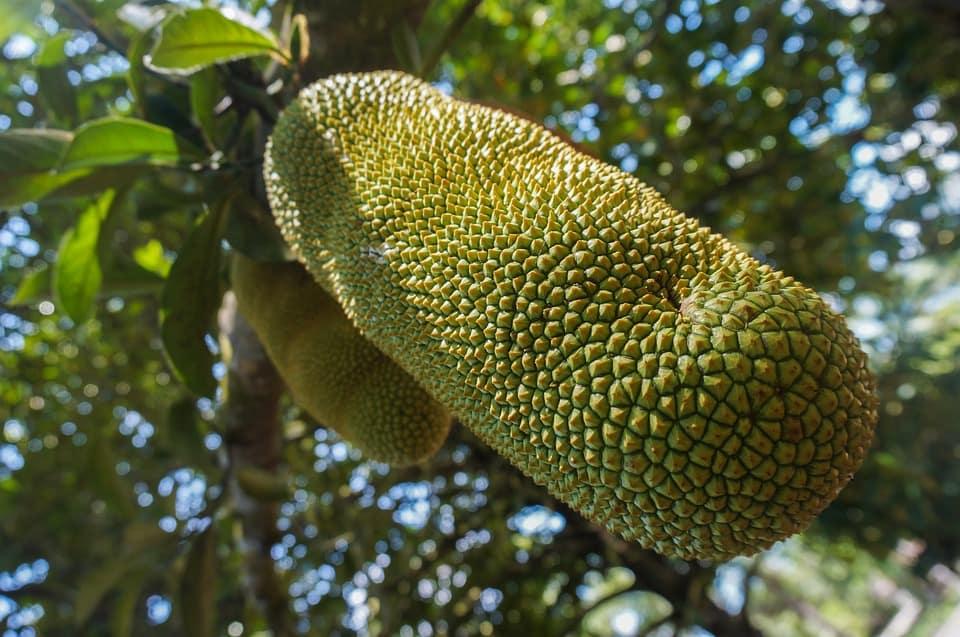 chempedak fruits