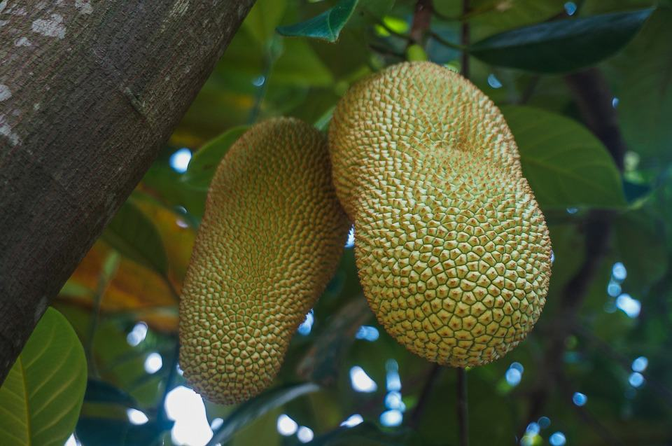 Cempedak Fruit- An Essential Guide to a Weird Exotic Fruit